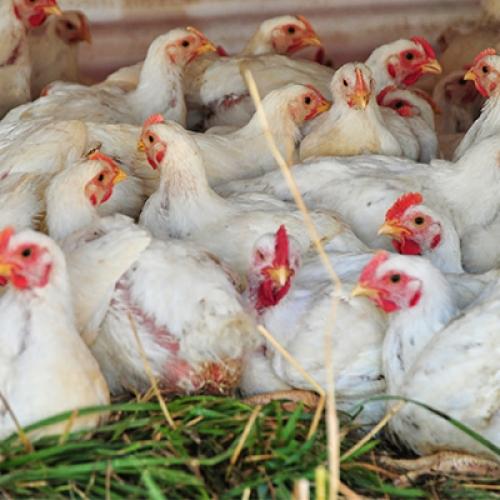 Tavuk Çiftliği Kampanyası - Bereda Vadisi